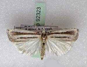 (Cypholomia - BC ZSM Lep 92323)  @11 [ ] by-nc-sa (2016) SNSB, Staatliche Naturwissenschaftliche Sammlungen Bayerns ZSM (SNSB, Zoologische Staatssammlung Muenchen)
