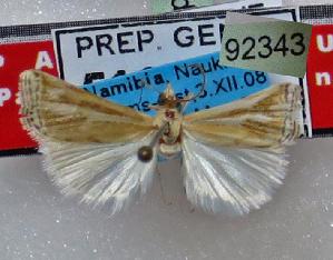 (Parancylolomia - BC ZSM Lep 92343)  @11 [ ] by-nc-sa (2016) SNSB, Staatliche Naturwissenschaftliche Sammlungen Bayerns ZSM (SNSB, Zoologische Staatssammlung Muenchen)