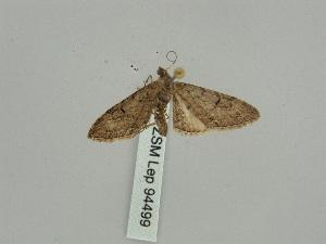 (Eupithecia acuta - BC ZSM Lep 94499)  @11 [ ] by-nc-sa (2016) SNSB, Staatliche Naturwissenschaftliche Sammlungen Bayerns ZSM (SNSB, Zoologische Staatssammlung Muenchen)