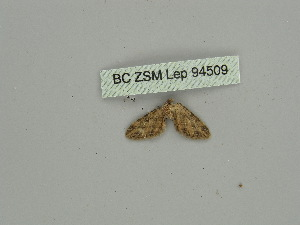 (Eupithecia PD02 - BC ZSM Lep 94509)  @11 [ ] CreativeCommons - Attribution Non-Commercial Share-Alike (2016) SNSB, Staatliche Naturwissenschaftliche Sammlungen Bayerns ZSM (SNSB, Zoologische Staatssammlung Muenchen)