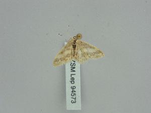 (Idaea PD01 - BC ZSM Lep 94573)  @11 [ ] by-nc-sa (2016) SNSB, Staatliche Naturwissenschaftliche Sammlungen Bayerns ZSM (SNSB, Zoologische Staatssammlung Muenchen)