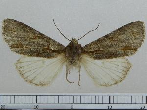 (Acronicta NK106 - BC ZSM Lep 97012)  @11 [ ] by-nc-sa (2017) SNSB, Staatliche Naturwissenschaftliche Sammlungen Bayerns ZSM (SNSB, Zoologische Staatssammlung Muenchen)