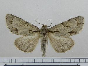 (Acronicta NK107 - BC ZSM Lep 97013)  @11 [ ] by-nc-sa (2017) SNSB, Staatliche Naturwissenschaftliche Sammlungen Bayerns ZSM (SNSB, Zoologische Staatssammlung Muenchen)