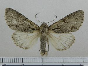 (Acronicta NK108 - BC ZSM Lep 97014)  @11 [ ] by-nc-sa (2017) SNSB, Staatliche Naturwissenschaftliche Sammlungen Bayerns ZSM (SNSB, Zoologische Staatssammlung Muenchen)