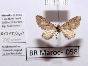 (Eupithecia farinosa - BC ZSM Lep 97891)  @12 [ ] by-nc-sa (2017) SNSB, Staatliche Naturwissenschaftliche Sammlungen Bayerns ZSM (SNSB, Zoologische Staatssammlung Muenchen)