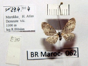 (Eupithecia massiliata - BC ZSM Lep 97894)  @13 [ ] CreativeCommons - Attribution Non-Commercial Share-Alike (2017) SNSB, Staatliche Naturwissenschaftliche Sammlungen Bayerns ZSM (SNSB, Zoologische Staatssammlung Muenchen)