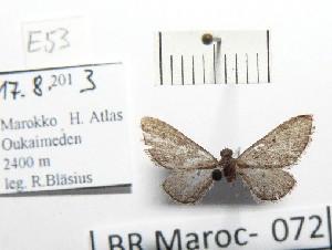 (Eupithecia farinosa - BC ZSM Lep 97898)  @12 [ ] by-nc-sa (2017) SNSB, Staatliche Naturwissenschaftliche Sammlungen Bayerns ZSM (SNSB, Zoologische Staatssammlung Muenchen)