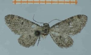 ( - BC ZSM Lep 97902)  @11 [ ] by-nc-sa (2017) SNSB, Staatliche Naturwissenschaftliche Sammlungen Bayerns ZSM (SNSB, Zoologische Staatssammlung Muenchen)