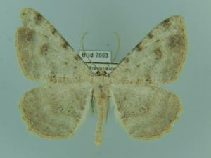 (Odontognophos - BC ZSM Lep 97931)  @12 [ ] by-nc-sa (2017) SNSB, Staatliche Naturwissenschaftliche Sammlungen Bayerns ZSM (SNSB, Zoologische Staatssammlung Muenchen)