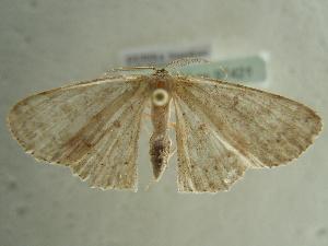 (Cyclophora diplosticta - BC ZSM Lep 97421)  @13 [ ] by-nc-sa (2017) SNSB, Staatliche Naturwissenschaftliche Sammlungen Bayerns ZSM (SNSB, Zoologische Staatssammlung Muenchen)