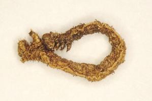 (Idaea orilochia - BC ZSM Lep 101935)  @11 [ ] by-nc-sa (2018) SNSB, Staatliche Naturwissenschaftliche Sammlungen Bayerns ZSM (SNSB, Zoologische Staatssammlung Muenchen)