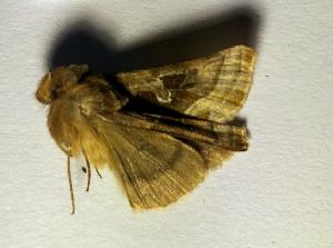 (Euchalcia gyulai - BC ZSM Lep 102075)  @11 [ ] by-nc-sa (2018) SNSB, Staatliche Naturwissenschaftliche Sammlungen Bayerns ZSM (SNSB, Zoologische Staatssammlung Muenchen)