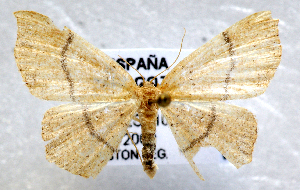 (Cyclophora serveti - BC ZSM Lep 104212)  @11 [ ] by-nc-sa (2018) SNSB, Staatliche Naturwissenschaftliche Sammlungen Bayerns ZSM (SNSB, Zoologische Staatssammlung Muenchen)