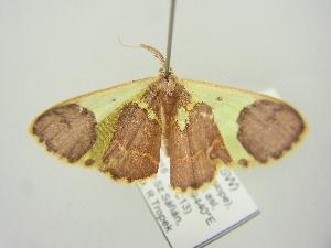 (Cassymini - BC ZSM Lep 104431)  @11 [ ] by-nc-sa (2018) SNSB, Staatliche Naturwissenschaftliche Sammlungen Bayerns ZSM (SNSB, Zoologische Staatssammlung Muenchen)