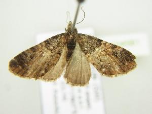 (Eupithecia dilucidaAH02Ca - BC ZSM Lep 104561)  @11 [ ] by-nc-sa (2018) SNSB, Staatliche Naturwissenschaftliche Sammlungen Bayerns ZSM (SNSB, Zoologische Staatssammlung Muenchen)