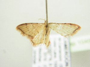 ( - BC ZSM Lep 104569)  @11 [ ] by-nc-sa (2018) SNSB, Staatliche Naturwissenschaftliche Sammlungen Bayerns ZSM (SNSB, Zoologische Staatssammlung Muenchen)