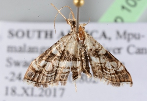 ( - BC ZSM Lep 103605)  @11 [ ] by-nc-sa (2018) SNSB, Staatliche Naturwissenschaftliche Sammlungen Bayerns ZSM (SNSB, Zoologische Staatssammlung Muenchen)