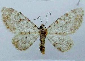 (Eupithecia mandarinca - BC ZSM Lep 103739)  @11 [ ] by-nc-sa (2018) SNSB, Staatliche Naturwissenschaftliche Sammlungen Bayerns ZSM (SNSB, Zoologische Staatssammlung Muenchen)