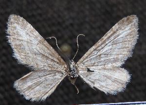 (Eupithecia furcata - BC ZSM Lep 103740)  @11 [ ] by-nc-sa (2018) SNSB, Staatliche Naturwissenschaftliche Sammlungen Bayerns ZSM (SNSB, Zoologische Staatssammlung Muenchen)