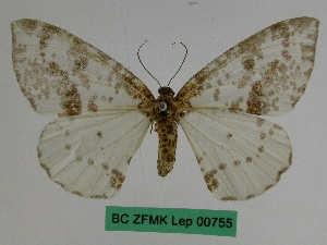 (Abraxas major - BC ZFMK Lep 00755)  @11 [ ] Copyright (2010) Dr. D. Stuening Zoological Research Museum Alexander Koenig