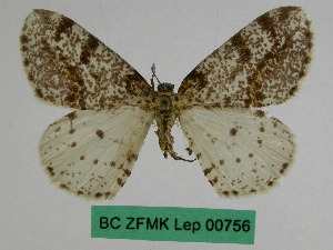 (Abraxas praepiperata - BC ZFMK Lep 00756)  @11 [ ] Copyright (2010) Dr. D. Stuening Zoological Research Museum Alexander Koenig