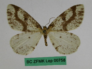 (Abraxas rhusiocirra - BC ZFMK Lep 00758)  @11 [ ] Copyright (2010) Dr. D. Stuening Zoological Research Museum Alexander Koenig