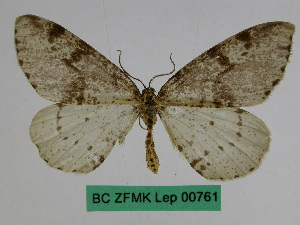 (Abraxas auchmodes - BC ZFMK Lep 00761)  @11 [ ] Copyright (2010) Dr. D. Stuening Zoological Research Museum Alexander Koenig
