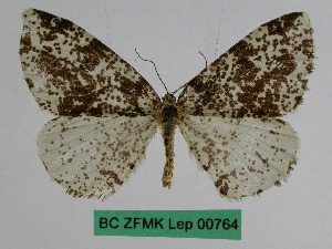 (Abraxas perchaotica - BC ZFMK Lep 00764)  @11 [ ] Copyright (2010) Dr. D. Stuening Zoological Research Museum Alexander Koenig
