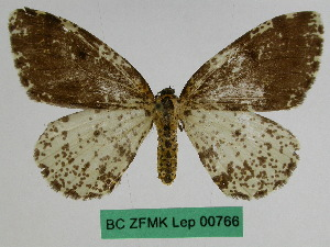 (Abraxas permutans - BC ZFMK Lep 00766)  @11 [ ] Copyright (2010) Dr. D. Stuening Zoological Research Museum Alexander Koenig