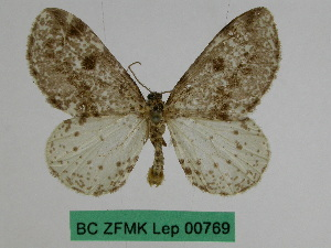 (Abraxas asemographa - BC ZFMK Lep 00769)  @11 [ ] Copyright (2010) Dr. D. Stuening Zoological Research Museum Alexander Koenig