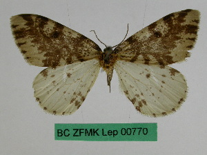 (Abraxas elaiodes - BC ZFMK Lep 00770)  @11 [ ] Copyright (2010) Dr. D. Stuening Zoological Research Museum Alexander Koenig
