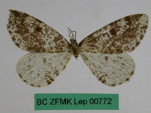 (Abraxas sinopicaria - BC ZFMK Lep 00772)  @12 [ ] Copyright (2010) Dr. D. Stuening Zoological Research Museum Alexander Koenig
