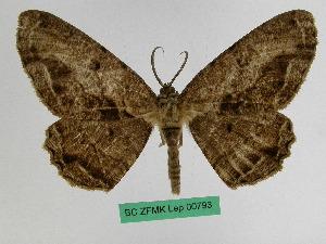 (Medasina - BC ZFMK Lep 00793)  @14 [ ] Copyright (2010) Dr. D. Stuening Zoological Research Museum Alexander Koenig