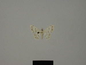 (Scopula elegantula - BC ZSM Lep 77825)  @11 [ ] CreativeCommons - Attribution Non-Commercial Share-Alike (2013) Axel Hausmann SNSB, Zoologische Staatssammlung Muenchen