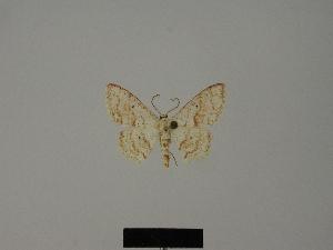 (Scopula tanalorum - BC ZSM Lep 77828)  @11 [ ] CreativeCommons - Attribution Non-Commercial Share-Alike (2013) Axel Hausmann SNSB, Zoologische Staatssammlung Muenchen