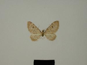 (Eupithecia liguriata ketama - BC ZSM Lep 80387)  @11 [ ] CreativeCommons - Attribution Non-Commercial Share-Alike (2013) Axel Hausmann SNSB, Zoologische Staatssammlung Muenchen
