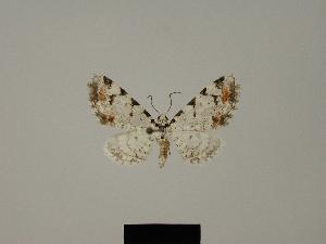(Eupithecia descimoni - BC ZSM Lep 80414)  @11 [ ] CreativeCommons - Attribution Non-Commercial Share-Alike (2013) Axel Hausmann SNSB, Zoologische Staatssammlung Muenchen