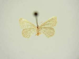 (Idaea obsoletaria distans - BC ZSM Lep 83311)  @11 [ ] CreativeCommons - Attribution Non-Commercial Share-Alike (2014) Axel Hausmann SNSB, Zoologische Staatssammlung Muenchen