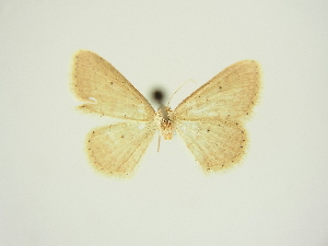 (Idaea obsoletaria dierli - BC ZSM Lep 83312)  @11 [ ] CreativeCommons - Attribution Non-Commercial Share-Alike (2014) Axel Hausmann SNSB, Zoologische Staatssammlung Muenchen