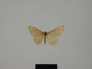 (Idaea belemiata helianthemata - BC ZSM Lep 84168)  @11 [ ] CreativeCommons - Attribution Non-Commercial Share-Alike (2014) Axel Hausmann SNSB, Zoologische Staatssammlung Muenchen