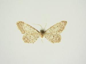 (Idaea praetineata - BC ZSM Lep 84722)  @11 [ ] CreativeCommons - Attribution Non-Commercial Share-Alike (2014) Axel Hausmann SNSB, Zoologische Staatssammlung Muenchen