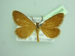 (Anthometra - BC ZSM Lep 103446)  @11 [ ] by-nc-sa (2018) SNSB, Staatliche Naturwissenschaftliche Sammlungen Bayerns ZSM (SNSB, Zoologische Staatssammlung Muenchen)
