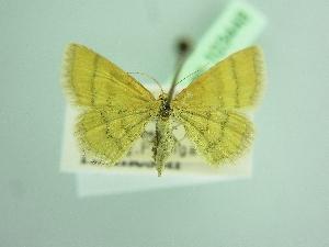 (Idaea luteolaria - BC ZSM Lep 103448)  @11 [ ] by-nc-sa (2018) SNSB, Staatliche Naturwissenschaftliche Sammlungen Bayerns ZSM (SNSB, Zoologische Staatssammlung Muenchen)