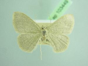 (Idaea lusohispanica - BC ZSM Lep 103449)  @11 [ ] by-nc-sa (2018) SNSB, Staatliche Naturwissenschaftliche Sammlungen Bayerns ZSM (SNSB, Zoologische Staatssammlung Muenchen)