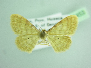 (Idaea lutulentaria - BC ZSM Lep 103453)  @11 [ ] by-nc-sa (2018) SNSB, Staatliche Naturwissenschaftliche Sammlungen Bayerns ZSM (SNSB, Zoologische Staatssammlung Muenchen)