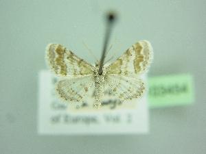 (Idaea nexata - BC ZSM Lep 103454)  @11 [ ] by-nc-sa (2018) SNSB, Staatliche Naturwissenschaftliche Sammlungen Bayerns ZSM (SNSB, Zoologische Staatssammlung Muenchen)