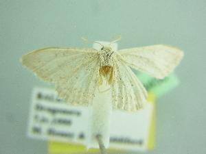 (Idaea acutipennis - BC ZSM Lep 103456)  @11 [ ] by-nc-sa (2018) SNSB, Staatliche Naturwissenschaftliche Sammlungen Bayerns ZSM (SNSB, Zoologische Staatssammlung Muenchen)