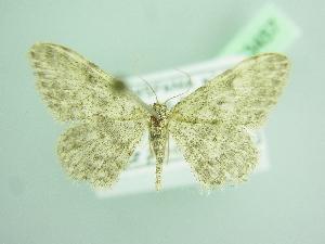 (Idaea rupicolaria - BC ZSM Lep 103457)  @11 [ ] by-nc-sa (2018) SNSB, Staatliche Naturwissenschaftliche Sammlungen Bayerns ZSM (SNSB, Zoologische Staatssammlung Muenchen)