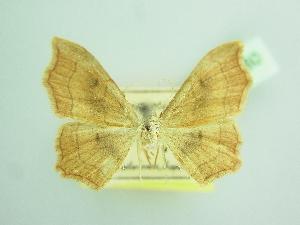(Idaea dromikos - BC ZSM Lep 103460)  @11 [ ] by-nc-sa (2018) SNSB, Staatliche Naturwissenschaftliche Sammlungen Bayerns ZSM (SNSB, Zoologische Staatssammlung Muenchen)