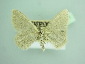 (Idaea squalidaria - BC ZSM Lep 103461)  @11 [ ] by-nc-sa (2018) SNSB, Staatliche Naturwissenschaftliche Sammlungen Bayerns ZSM (SNSB, Zoologische Staatssammlung Muenchen)